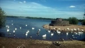 Damiens Ducks (really swans)